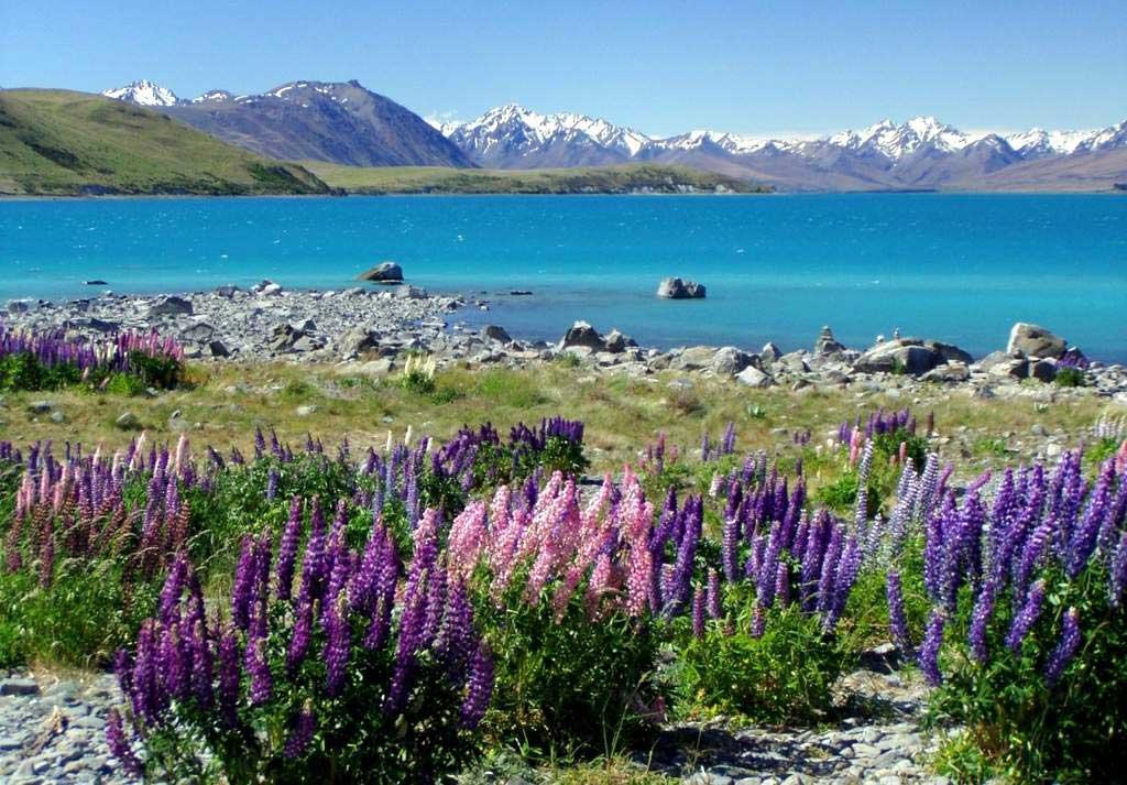 紐西蘭魯冰花景點