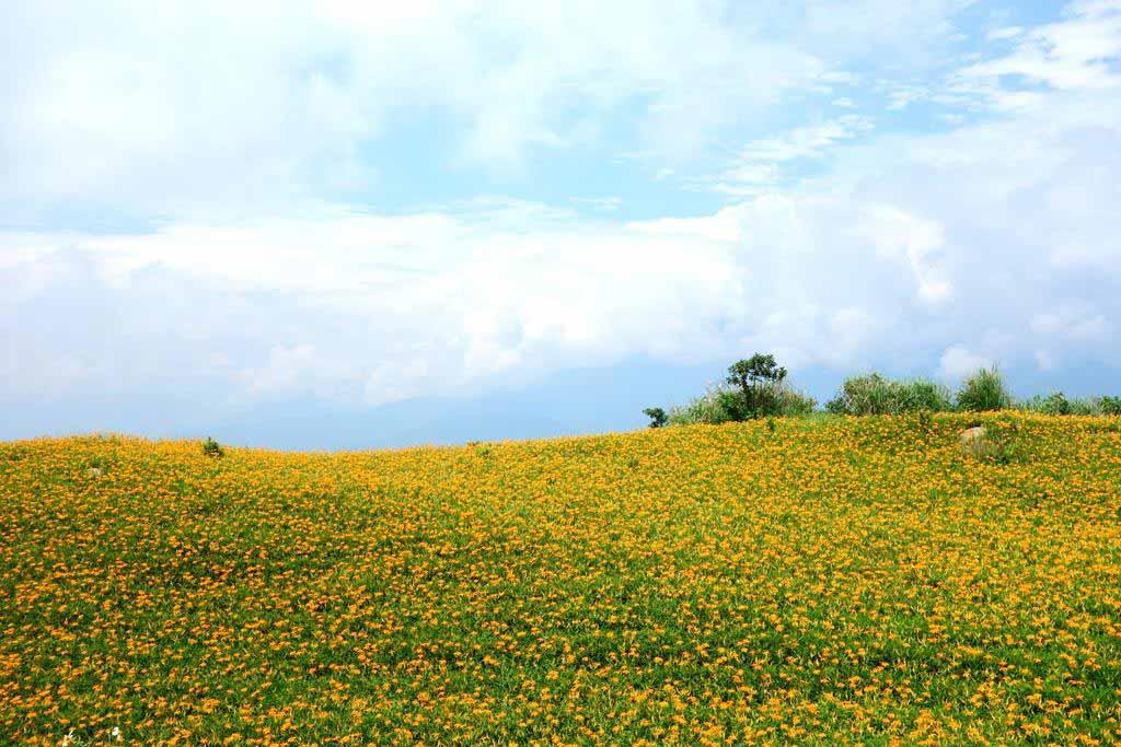 花蓮六十石山金針花