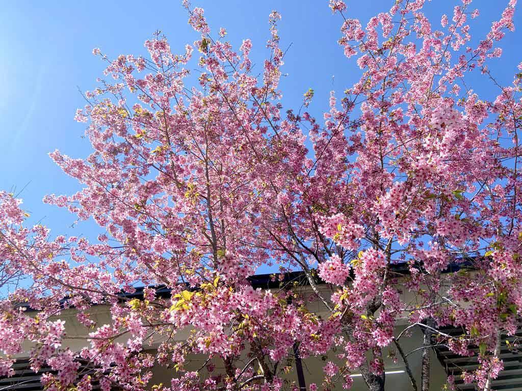 Alishan-cherry-blossom