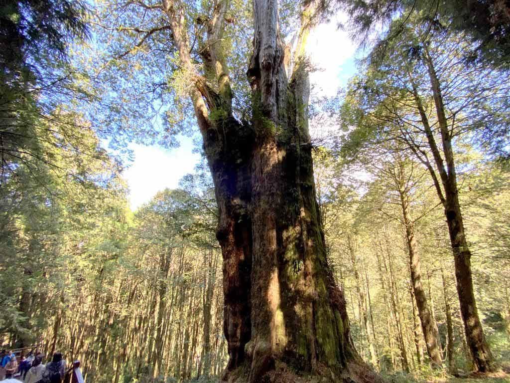 28號巨木