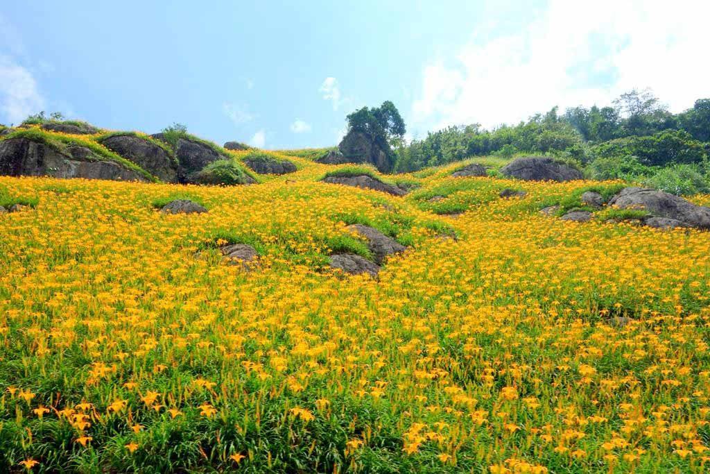 六十石山-金針花