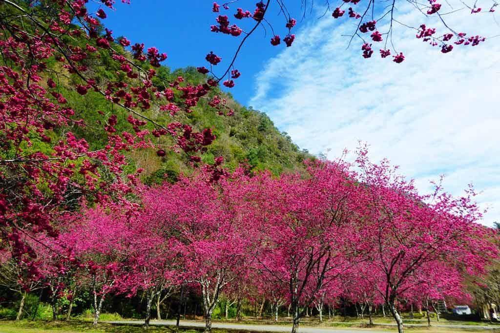 奧萬大-櫻花