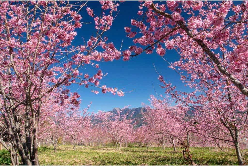 福壽山農場-櫻花