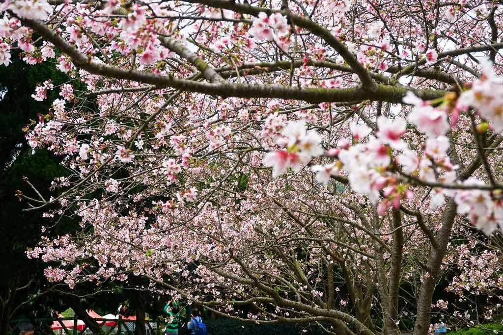 陽明山花季櫻花