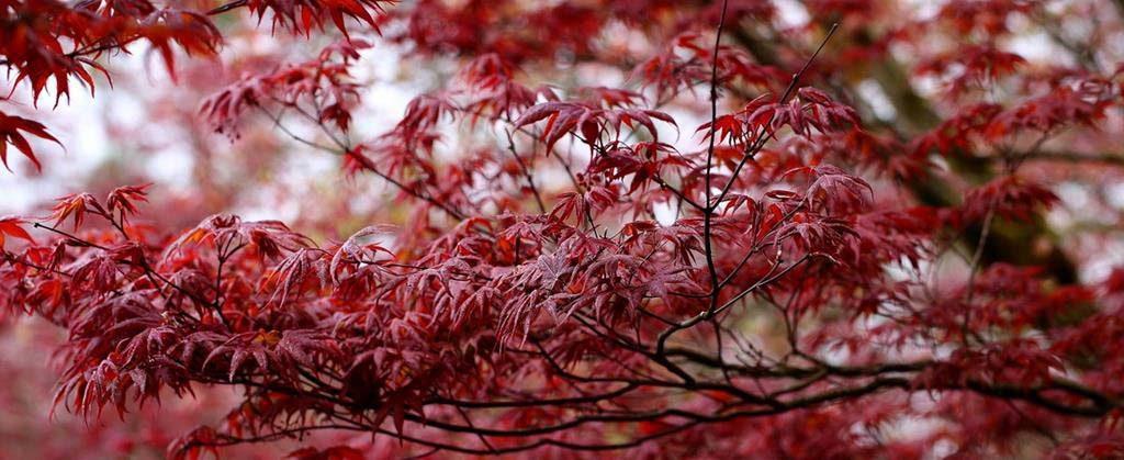 太平山-紫葉槭