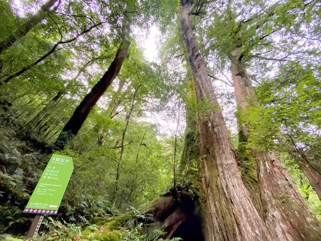 拉拉山-5號巨木