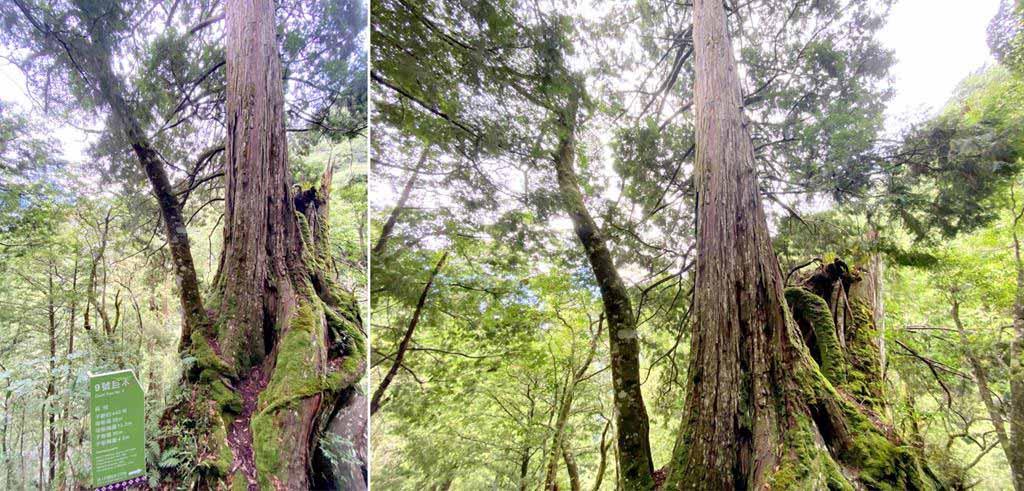 拉拉山-9號巨木