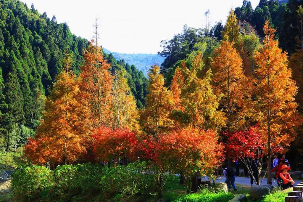 杉林溪-楓葉
