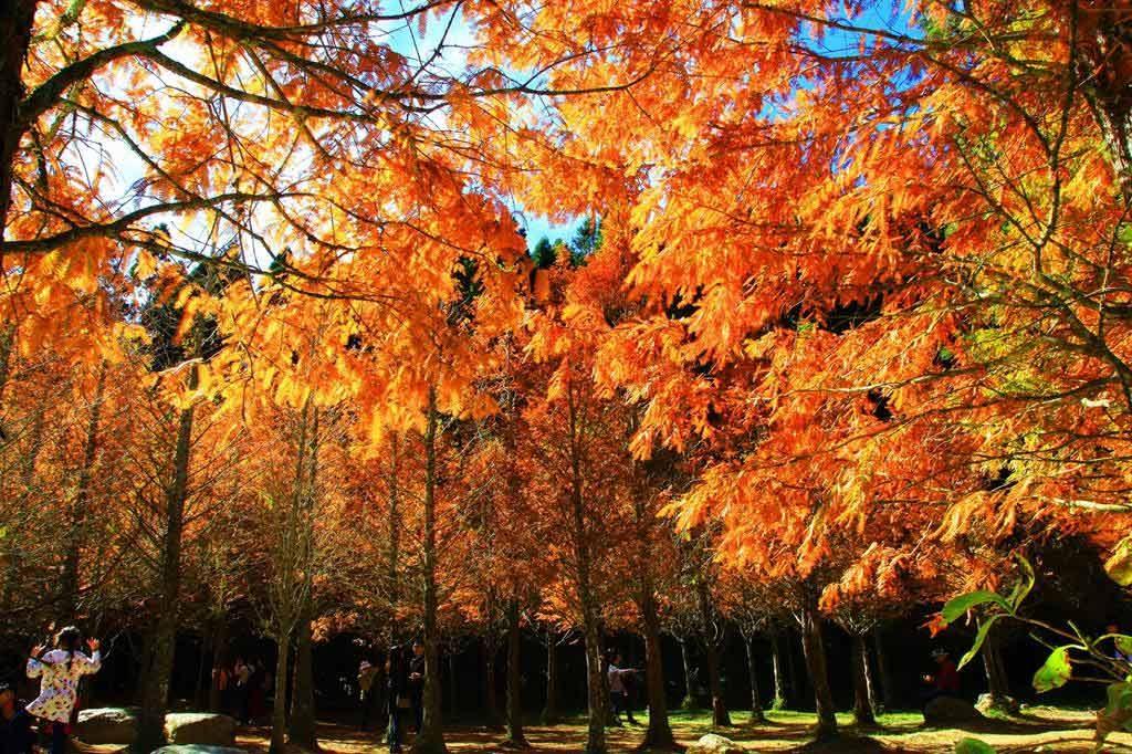 杉林溪-黃金水杉林