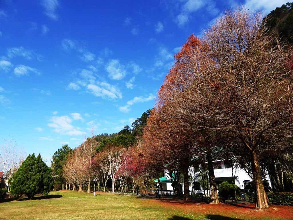 綠野山莊-落羽松