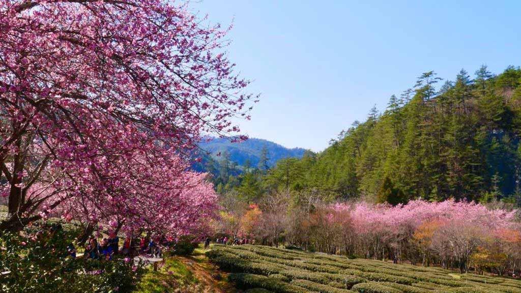 武陵農場 櫻花