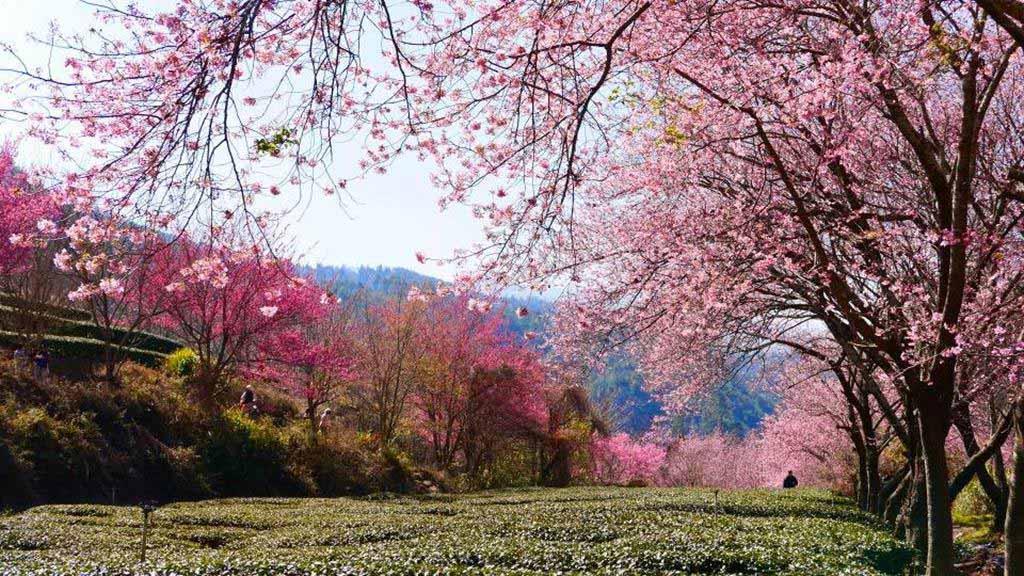 武陵農場-櫻花