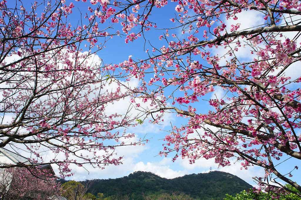 平菁路42巷櫻花