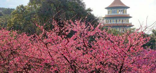淡水-天元宮-櫻花