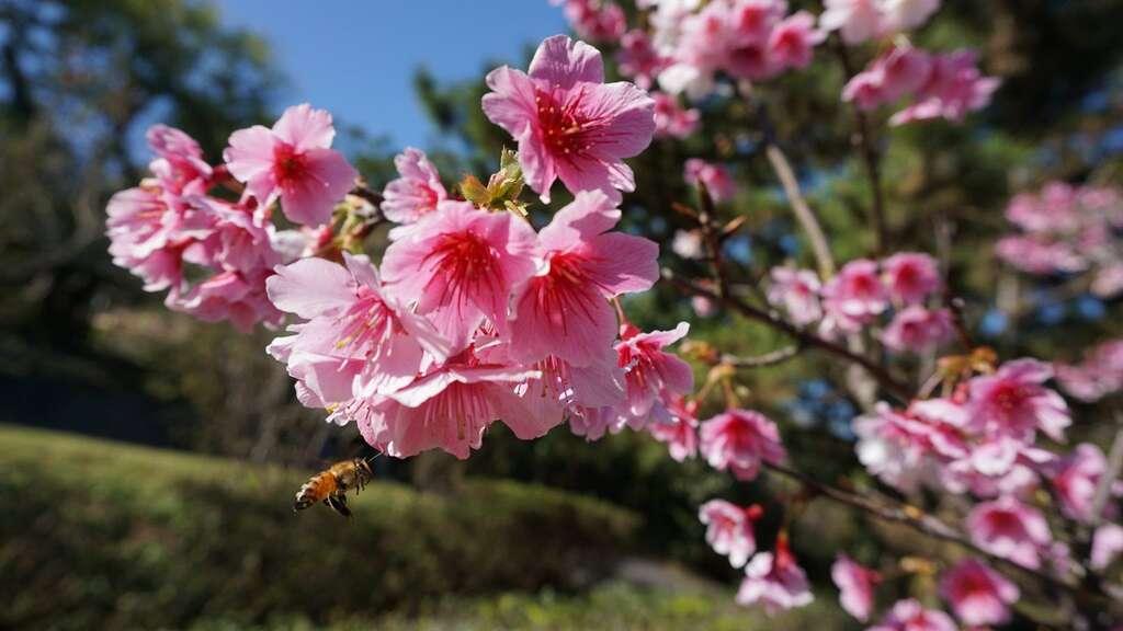 陽明山-櫻花