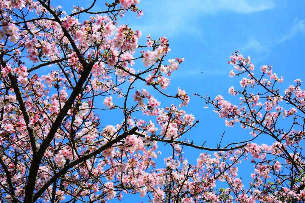陽明山 櫻花