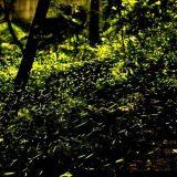 台灣-螢火蟲
