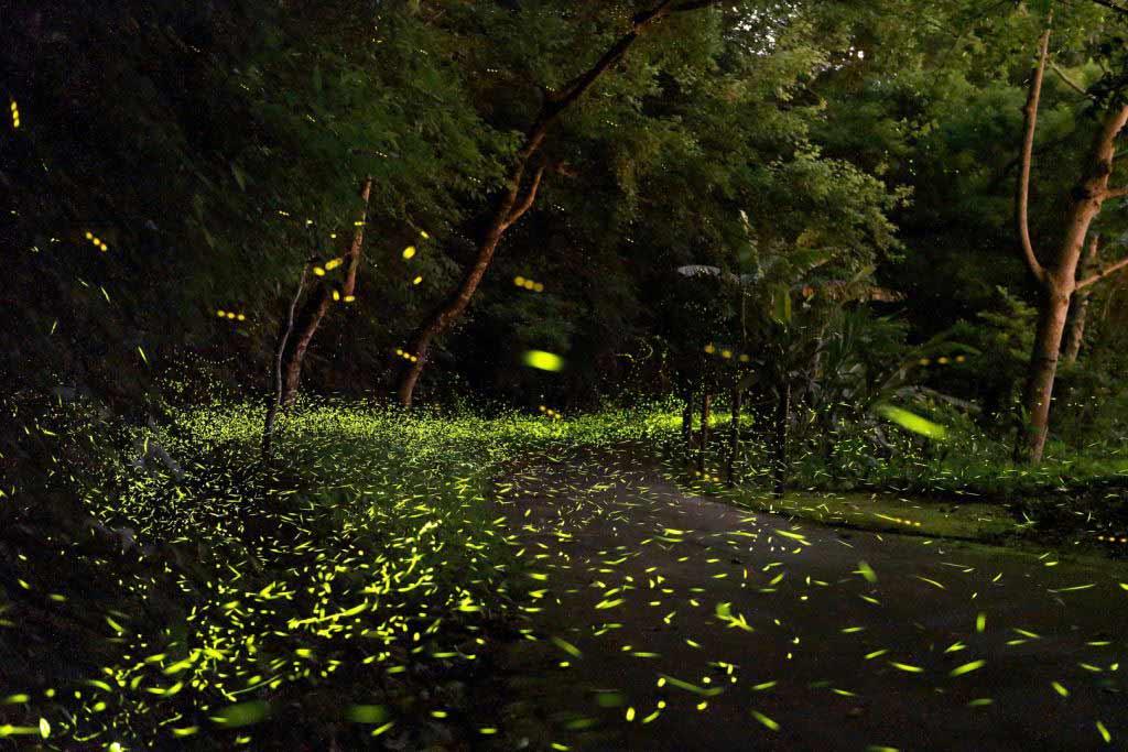 東勢林場螢火蟲