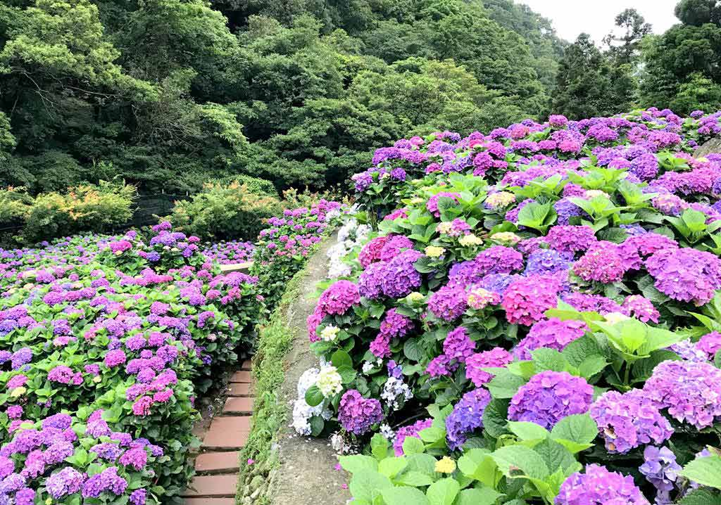 大梯田-繡球花