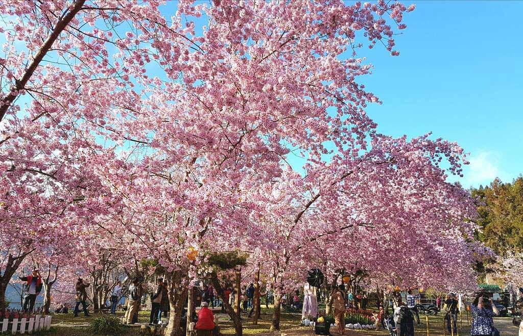 拉拉山-櫻花