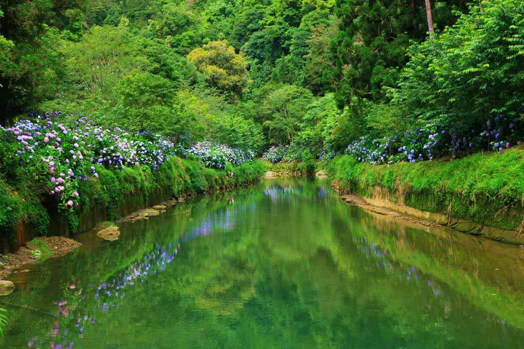 杉林溪生態渡假園區-繡球花