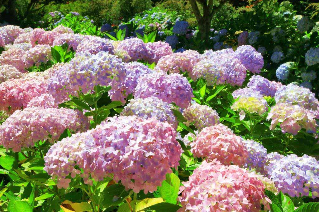 杉林溪-繡球花