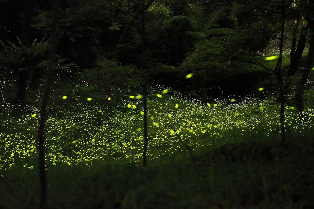 東勢林場-螢火蟲