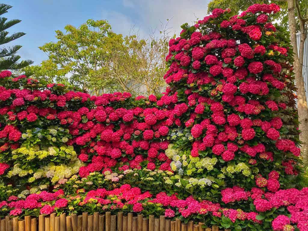 花露農場-繡球花